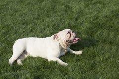 brittisk bulldogg Royaltyfria Bilder