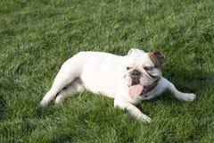 brittisk bulldogg Arkivbilder