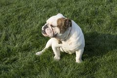 brittisk bulldogg Arkivbild