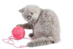 brittisk clew isolerat rosa leka för kattunge Royaltyfri Bild