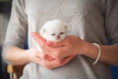 Brittisk fullblods- kattunge arkivbilder