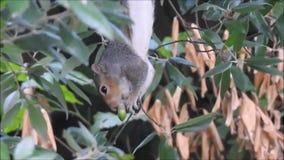 Brittisk grå färgekorre som söker efter föda för ekollonar lager videofilmer