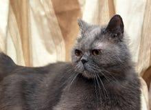 Brittisk grå shorthairkatt royaltyfri bild