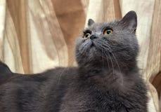 Brittisk grå shorthairkatt arkivbild