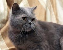 Brittisk grå shorthairkatt arkivfoton