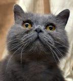 Brittisk grå shorthairkatt royaltyfri foto
