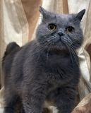 Brittisk grå shorthairkatt royaltyfri fotografi