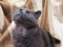Brittisk grå shorthairkatt royaltyfria foton