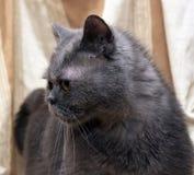 Brittisk grå shorthairkatt royaltyfria bilder