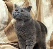 Brittisk grå shorthairkatt fotografering för bildbyråer