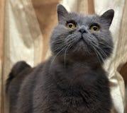 Brittisk grå shorthairkatt arkivbilder