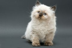 brittisk gullig kattunge Arkivbild