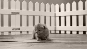Brittisk hög Shorthair kattunge jama ut, vitt staket stock video