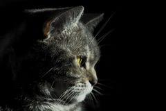Brittisk katt Fotografering för Bildbyråer