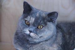 Brittisk katt Royaltyfri Fotografi