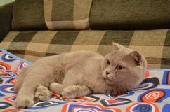 Brittisk katt Royaltyfria Foton