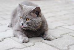 Brittisk katt för kort hår Arkivfoto