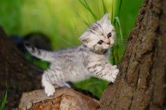 Brittisk katt för marmor Royaltyfri Fotografi