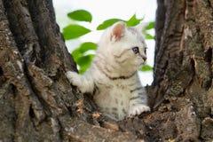 Brittisk katt för marmor Arkivbilder