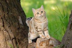 Brittisk katt för marmor Arkivbild
