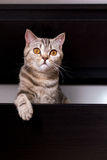 Brittisk katt i ask Royaltyfri Fotografi