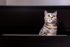 Brittisk katt i ask royaltyfri foto