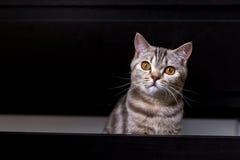 Brittisk katt i ask Royaltyfria Foton