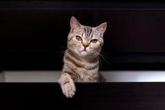 Brittisk katt i ask Arkivbild