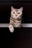 Brittisk katt i ask arkivbilder