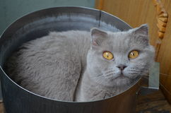 Brittisk katt i en panna Royaltyfri Fotografi