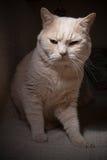 brittisk katt ii royaltyfri foto