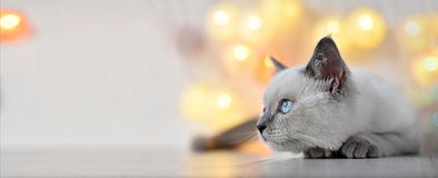 Brittisk katt - lila punktkattunge royaltyfria foton