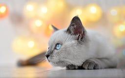 Brittisk katt - lila punktkattunge arkivfoton