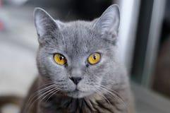 Brittisk katt med bärnstensfärgade ögon royaltyfri foto