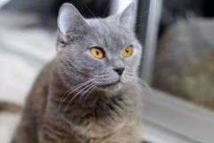 Brittisk katt med bärnstensfärgade ögon arkivfoto