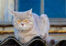 Brittisk katt med ljusa ögon royaltyfri fotografi