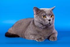 Brittisk katt på en blå bakgrund Arkivfoto