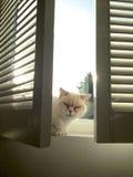 Brittisk katt på en London fönsterbräda Arkivfoton