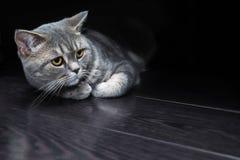 Brittisk katt på ett svart golv royaltyfria foton