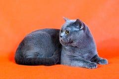 Brittisk katt på orange bakgrund Royaltyfri Foto
