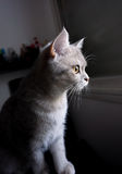Brittisk katt som är i huvudrollen ut ur fönstret Fotografering för Bildbyråer