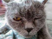 Brittisk katt som blinkar med nöje royaltyfri bild