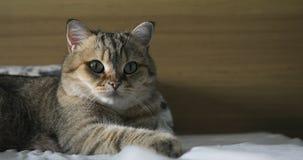 Brittisk katt som ligger på det dåligt och att försöka att sova lycklig katt stock video