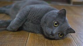 Brittisk katt som ligger på golvet på hans baksida som försöker att sova lycklig katt lager videofilmer