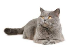 brittisk katt som ser ligga Arkivbilder