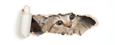 Brittisk katt som ser till och med hålet i isolerat papper Royaltyfri Fotografi