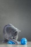 Brittisk katt som spelar med garnnystan Royaltyfria Foton
