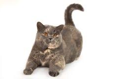 Brittisk katt som spelar på en vit bakgrund Arkivbilder