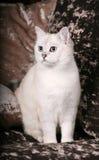 brittisk kattchinchilla Royaltyfri Bild