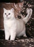 brittisk kattchinchilla Arkivfoto